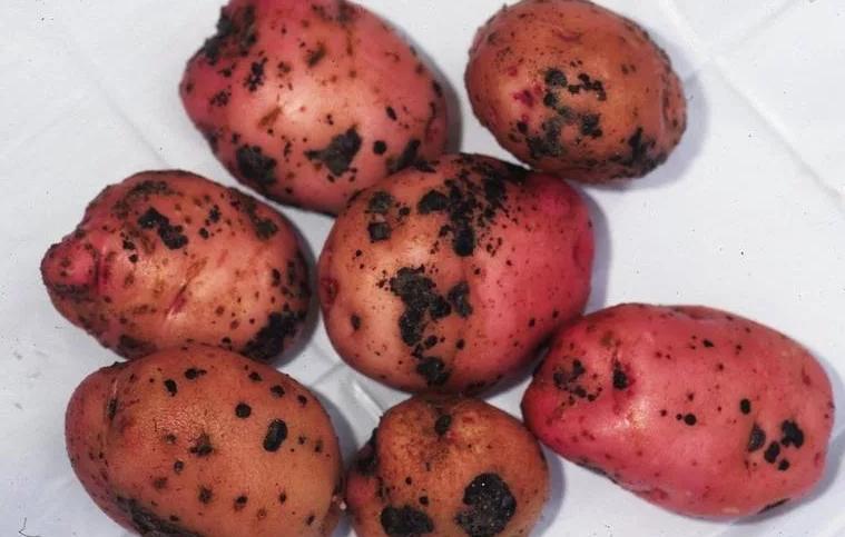 Несоответствующая посевному стандарту партия семенного картофеля выявлена в Ростовской области
