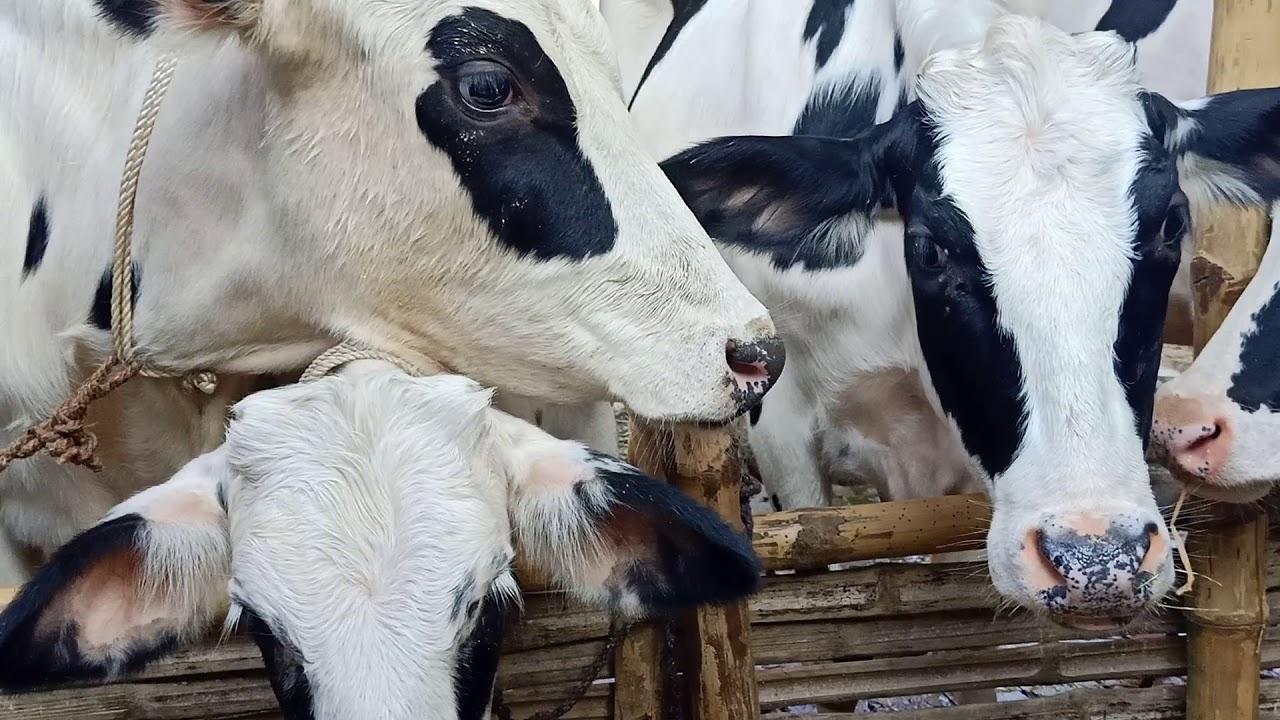 Факт перемещения крупного рогатого скота без ветеринарных документов установлен в Ростовской области