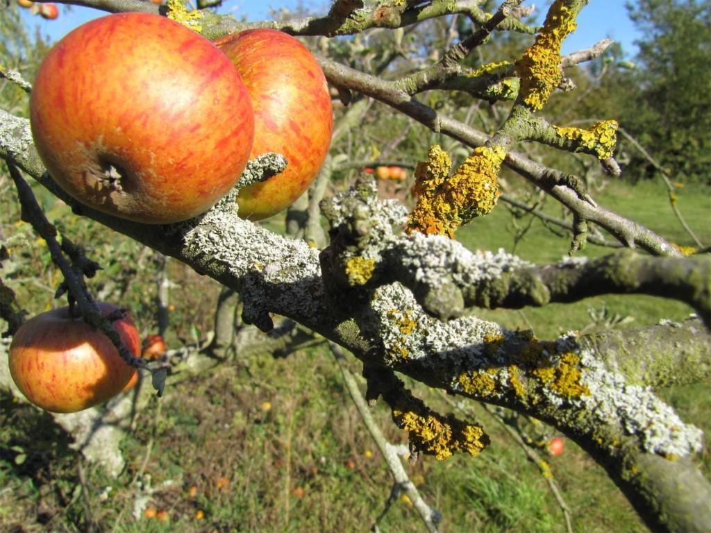 Вредны ли лишайники и мхи на стволах плодовых деревьев