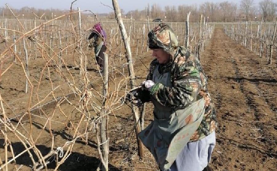 Весенние заботы донского виноградаря