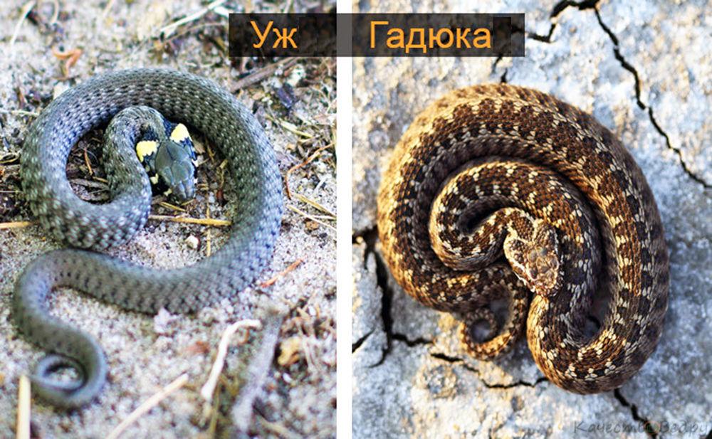 На набережной в Романовской обитает самая безобидная и беззащитная змея — морской уж