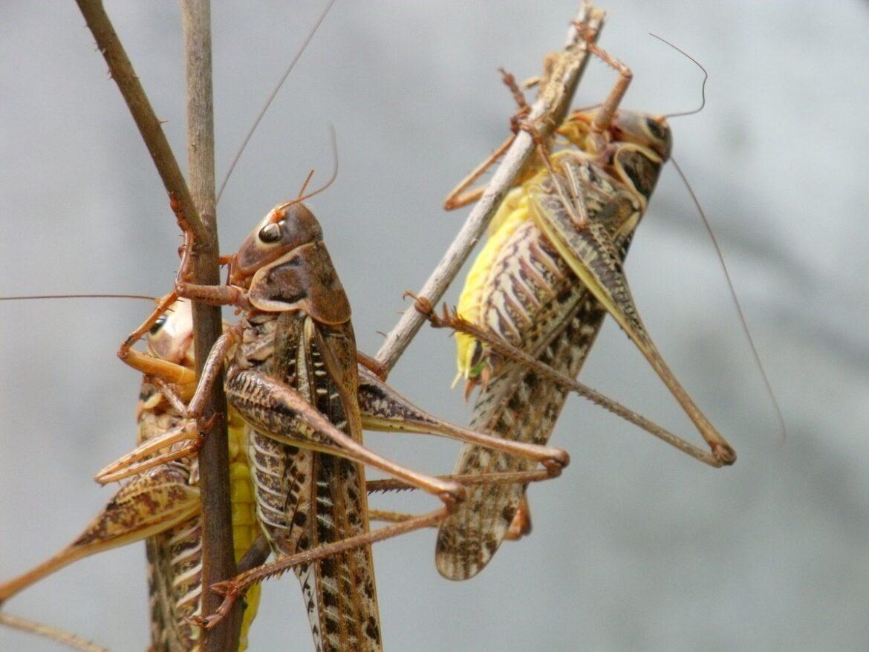 В Ростовской области проводят профилактику против саранчовых вредителей