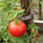 Podkormka-tomatov-narodnymi-sredstvami-v-otkrytom-grunte-1