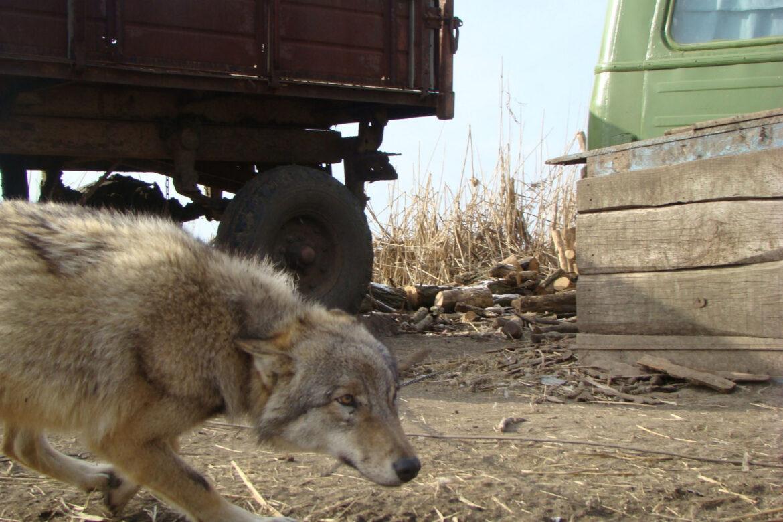 В 2021 году в Ростовской области случаев нападения волков не зафиксировано