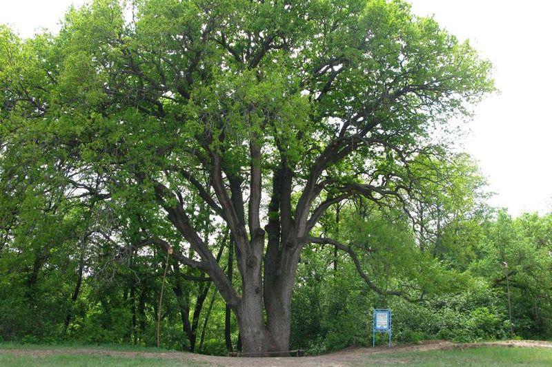 Поддержите донской дуб-великан на конкурсе «Российское дерево года 2021»
