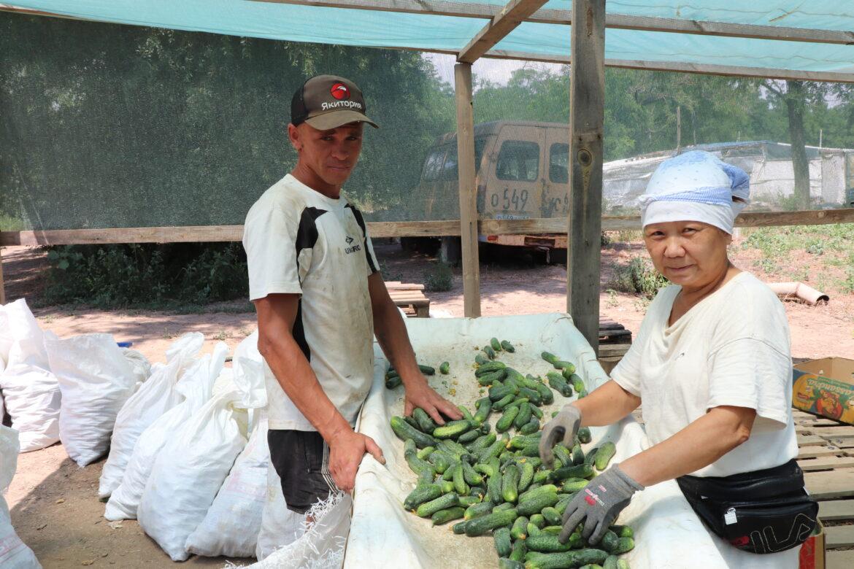 На овощных плантациях Волгодонского района начался сбор урожая огурцов