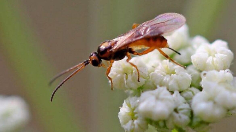 Донские поля продолжают заселять полезными насекомыми