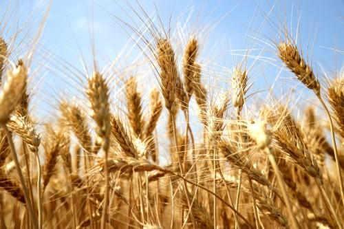 Донские хлеборобы побили собственный исторический рекорд по сбору ранних зерновых