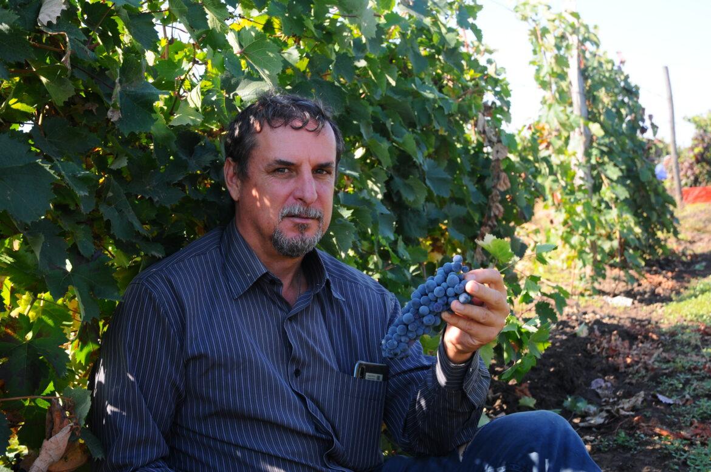 На виноградниках в поселке Краснодонской сбор солнечной ягоды в полном разгаре